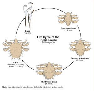crabs-std-life-cycle